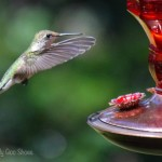 6 Tips For Attracting Hummingbirds |Ms. Toody Goo Shoes